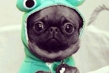Pugs / Pugs not drugs! I am obsessed with cute pug puppies. They are my favourite dogs EVERRR