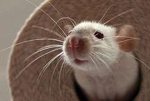 Ratties <3