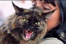 my Maine coons / Самые большие домашние кошки - мейн кун котики и котята