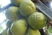 Coconut Tree / for coconut tree or coconut fruit only. cocos nucifera is healthy fruit and food.