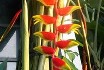 Heliconia Flower / heliconia flower on the tree at the garden, whatever type of heliconia will see on this board  #heliconia #flower