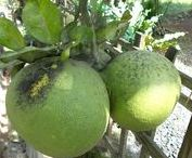 Pomelo Tree / the board is for pomelo, pomelo tree or grapefruit tree. also citrus maxima, lemon and big oranges.