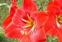 Amaryllis Flower / Amaryllis amarilis board is for the lover of this beauty flowers. #amaryllis #amarilis #flower If you need to be comntributor on this board just follow me and follow all the pin. then DM me on specific on board.