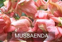 Mussaenda Flowers / mussaenda flower board for any kind of mussaenda flowers in the world. #mussaenda #flower