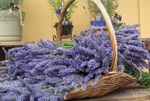 Lavender / As Rosemary is to the Spirit, so Lavender is to the Soul