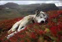 Wolfs & Others