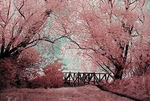 cherry blossoms / Japanese cherry blossom