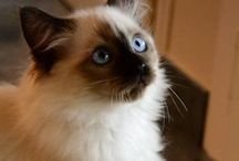 Heart of Chocolate Wonderful Odette / My Wonderful Ragdoll