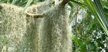 filles de l'air / les tillandsias usneoides peuvent s'accrocher partout où les conditions leur permettent.  Broméliacées