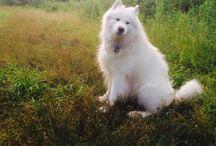 Falcor / White Magic Samoyed Ch. Falcor Dog days #samoyed#white dog