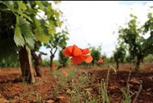 Our Vineyards / Puglia: a land of wine