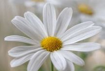 Daisies / Inspirational daisies. Our self catering house in the Cotswolds is called Daisy Chain so we love all things daisy!