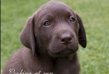 Fun with Chocolate Labradors / I have two wonderful chocolate labradors, Rosie and her son Luther. Rosie had two litters (never again)... and bringing up 14 little chocolate babies to the world was an awesome, if not testing, experience. They brought joy to all the families they went to!