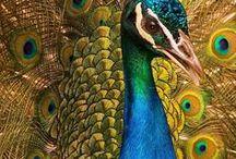 20.2. Fauna. Phasianinae birds.