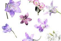 Art: watercolor Campanula