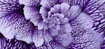 : poetic☚Lavender : / Bibbity Bobbity Boos of Lavender/Lilac.