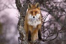 Kettuja / Foxes