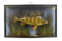 Fish Taxidermy / Some of the fish being offered at auction on 20 May 14 at Summers Place Auctions