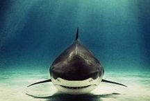 sharks! / A board devoted entirely to #sharks!