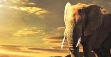 """elephants / """"A camel makes an elephant feel like a jet plane."""" - Jackie Kennedy"""