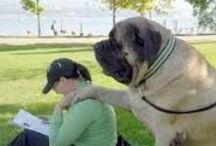 Mastiffs / nolostdogs.org
