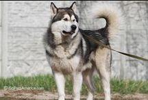 Huskies and Malamutes / NoLostDogs.org