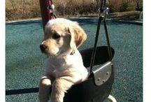 Labradors / Nolostdogs.org