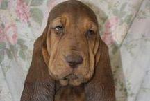Bloodhounds / nolostdogs.org