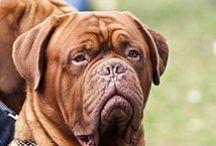 Dogue De Bordeaux / Nolostdogs.org