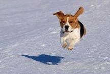 Beagles / nolostdogs.org
