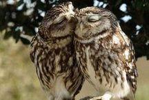 Owl. Κουκουβάγιες. Совы.