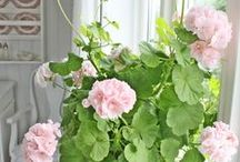 Pelargoniat / Pink, pinned pelargonias