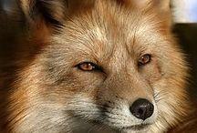 Foxy Loxie / by Tiff Lance