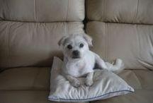 Sophie / Sophie is our Maltese/Pug cross born 3/04/07