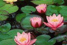 lotus / lotus