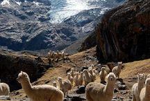 alpaca&llama / Alpacas and llamas