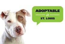 St. Louis Adoptable Dogs / Each of these dogs are living in foster homes in the St. Louis area awaiting an adoptive home. If you are interested in learning more about one of these dogs, please email info@evenchance.org