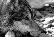 Lobos♥