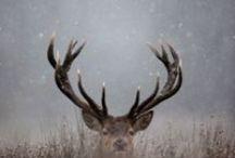 Cervidae - Deer - Szarvasok