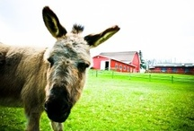 Doobie! / When you visit Swedish Hill Winery be sure to stop and say hello to our infamous miniature donkey, Doobie!