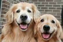 Golden ♥ Retriever / by Brigitte ♥