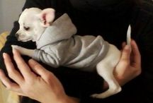 chihuahua clothes / First items in my grandpup Coco's new wardrobe!  Made to measure and with love!!