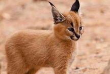 Lynx / My school mascot :3 / by Cassidy Brewer
