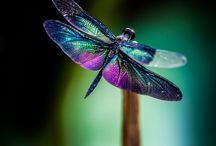 Dragonfly / Dragonfly