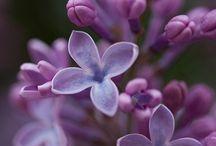 Lilacs / 一番好きなお花♡