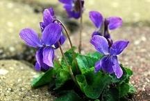 Violets ❇ / by ★~ CelestialSkye  Kat ~ ★