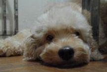 AYGO - Meu Goldendoodle... / Meu Bebê...(My baby...) Saudade Infinita...