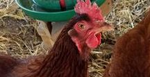 Chickens / Information about backyard chickens.