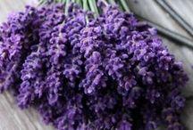 Lavendel-Violet-PAARS / Lavendel- Violet- Paars