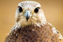 Kerecsensólyom /   A turul a magyar eredetmondák mitologikus madara. Az égi hatalom és az uralkodói fensőbbség megtestesítője.  A  kerecsensólyom a karácsony névadója.    A  kerecsensólyom (Falco Lanarius) eleségül kiszemelt áldozatát egyetlen jól irányzott csapással semmisíti meg. Nem okoz felesleges fájdalmat, és nem kínoz aljas módon. ... az összes többi ragadozó madár, még élõ áldozatát kezdi el falni.